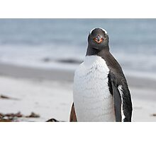 "Gentoo Penguin ~ ""The Gentleman"" Photographic Print"