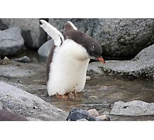 "Gentoo Penguin chick ~ ""Practise Makes Perfect"" Photographic Print"