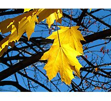 Yellow Maple Photographic Print