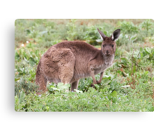 Western Grey Kangaroo Canvas Print