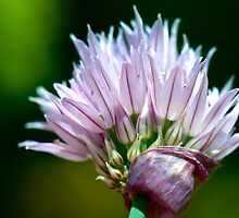 Chives Flower by Renee Hubbard Fine Art Photography