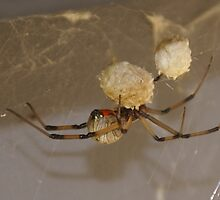 Brown Widow Spider - (Latrodectus geometricus) Button Spider - La Mirada, CA USA by leih2008