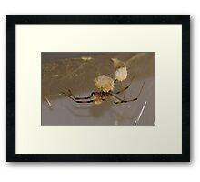 Brown Widow Spider - (Latrodectus geometricus) Button Spider - La Mirada, CA USA Framed Print
