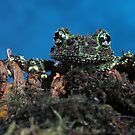 Vietnamese mossy frog  by Angi Wallace