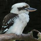 Kookaburra by margo