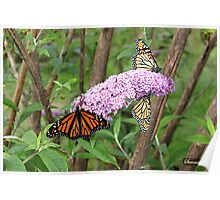 Migration of the Monarch Butterfly  Poster