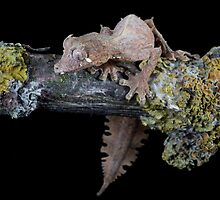 Satanic leaf tailed gecko by Angi Wallace