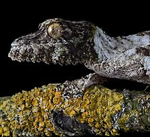 Leaf tailed gecko by Angi Wallace