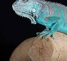 Iguana by Angi Wallace