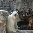 Bear in St Louis by Chris  Batson