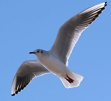Mediterranean Gull Larus melanocephalus by alloverglad