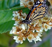 Not The Monarch Shot I Wanted by Suni Pruett
