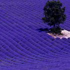 Lavender Fields of Provence by Raphael Lopez