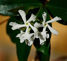 Cluster of Star Jasmine Blossoms by Sandra Chung
