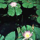 lotus3 by ewald schober