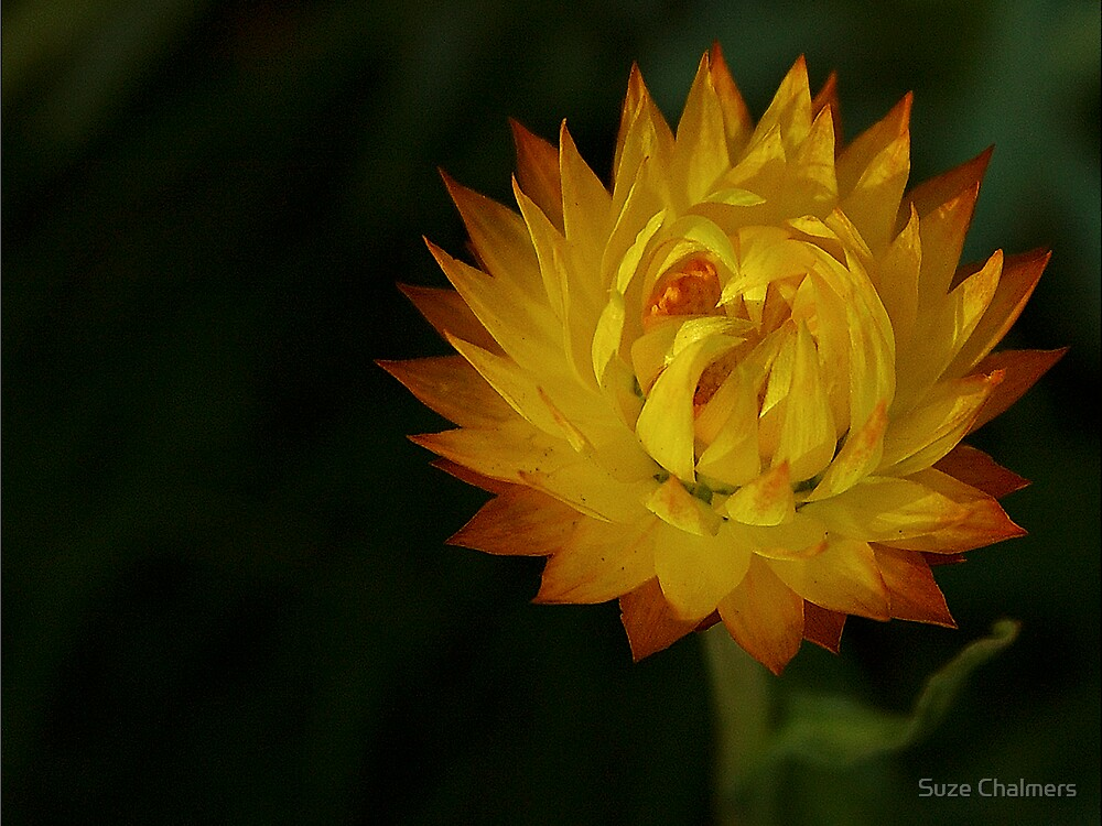 Paper Daisy by Suze Chalmers