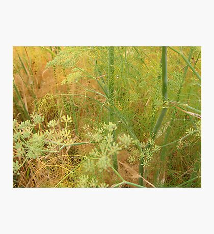 Wild Fennel Photographic Print