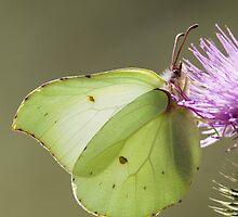 Brimstone Butterfly by Neil Bygrave (NATURELENS)