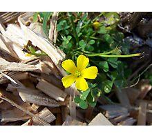 yellow wildflower/weed Photographic Print