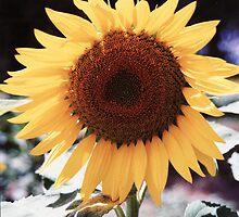 Sunflower by Melanie  Dooley