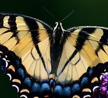 Eastern Tiger Swallowtail by patti4glory
