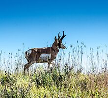 Pronghorn King of the Mountain by Debra Martz