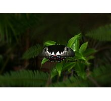 Orchard Swallowtail among the ferns Photographic Print