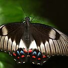 Portait of an Orchard Swallowtail butterfly by Lesley Smitheringale