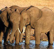 elephants along the zambezi by samantha jefferson