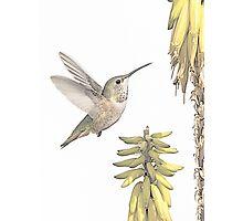 Allen's Hummingbird And Aloe Photographic Print