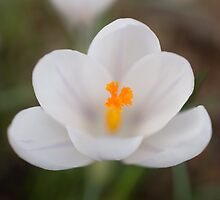 White Crocus Flower by Robert Carr