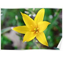 Wild yellow flower. Poster