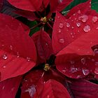 Red Poinsettia Water Drops by jenndes