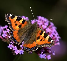 Tortoise Shell Butterfly by Neil Bygrave (NATURELENS)