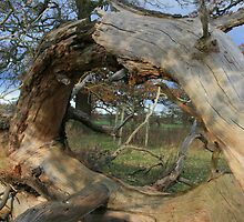 Twisted Trunk by Justine Humphries