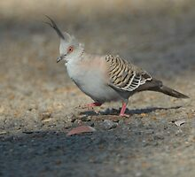 Crested Pigeon by Wildpix