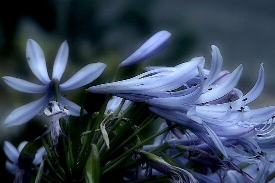 Moonlit Lavender Petals by Lesley Smitheringale