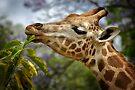 Giraffe by SD Smart