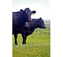 Cley Cows Too A Photographic Print