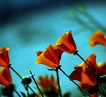 Cal Poppies by Patito49