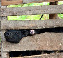 Hello Piggy - Sa Pa, Vietnam. by Tiffany Lenoir