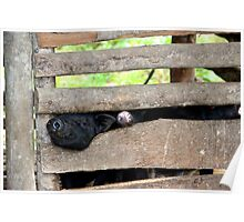 Hello Piggy - Sa Pa, Vietnam. Poster