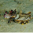 Flamboyant Cuttlefish - Metasepa pfefferi by Andrew Trevor-Jones