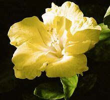Hibiscus In The Late Day Sun by Lexi