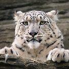 Snow leopard (Panthera uncia) by Stephen Liptrot