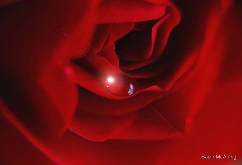Rose glow.. by Basia McAuley