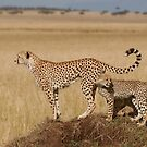 Cheetah Tails by Steve Bulford