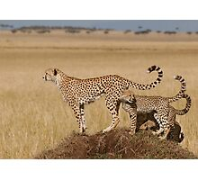 Cheetah Tails Photographic Print
