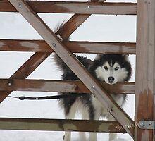 Snowy Husky by Jonathan Cox