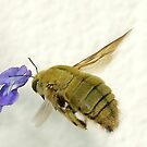 Carpenter Bee by Macky